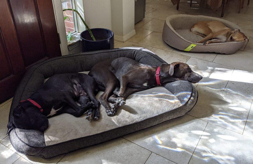 Foster dogs: Indy, Killian, Rocky