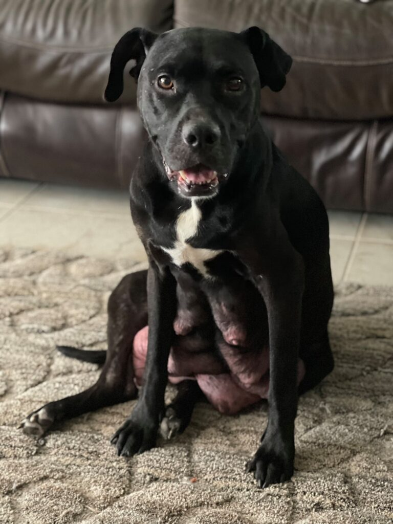 Indy, a dumped pregnant dog